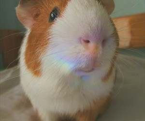 animals, guinea pig, and light image