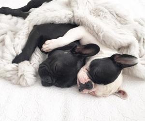animals, cute, and french bulldog image