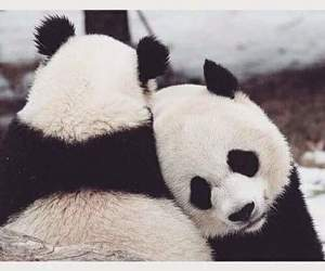 panda and animals image
