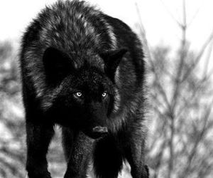 wolf, black and white, and black image