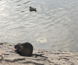 duck, nutria, and river image