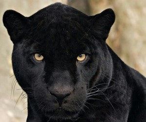 animal, black, and yellow eyes image