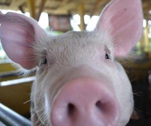 pig, animal, and quality image