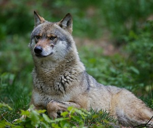forest, nature, and wolf image