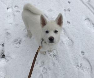 akita, dog, and inu image