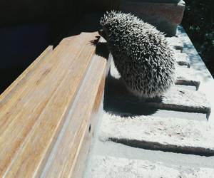 animals, hedgehog, and summer image
