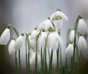 beautiful, flowers, and snowdrops image