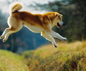 akita inu and dog image
