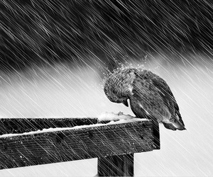 bird, rain, and black and white image