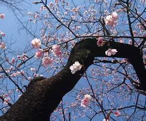 asia, cherry blossoms, and japan image