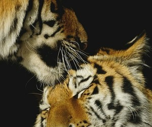 tiger and love image