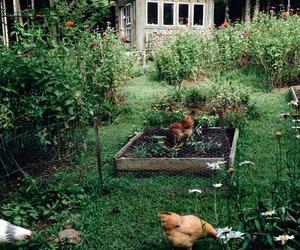 Chicken, farm, and garden image