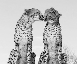 animal, cheetah, and kiss image