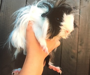 animal, fluffy, and guinea pig image
