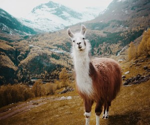 lama, all, and animal image