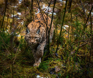 animal, germany, and lynxes image