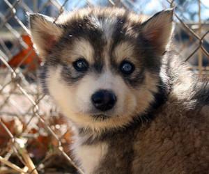 animal, blue eyes, and dog image