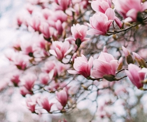 magnolia and spring image