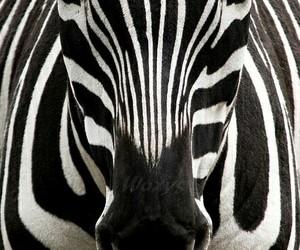 animal, zebra, and black image