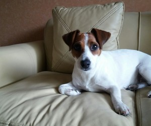 beatiful, dog, and jackrussell image