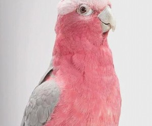 pink, bird, and parrot image