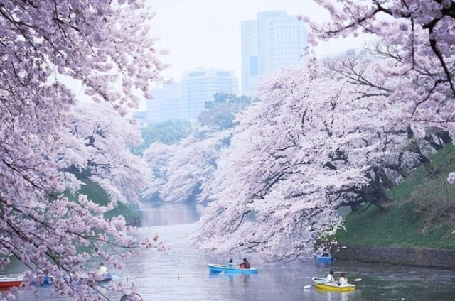 cherry, flowers, and japan image