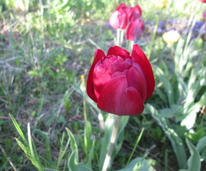 flower, nature, and tulip image