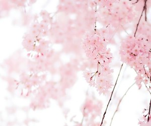 baby pink, cherry blossoms, and pink image
