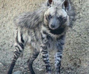 africa, hyena, and striped image