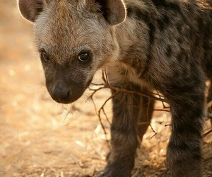 africa, hyena, and pup image