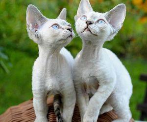 devon, kitten, and white image