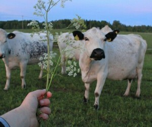 animal, aesthetic, and cow image