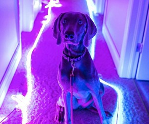 dog, weimaraner, and glow image