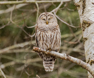 bird, owl, and barred owl image