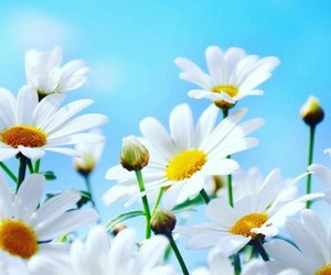 flowers, daisies, and nature image