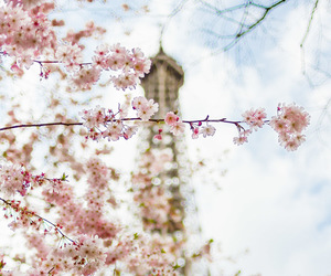 blossoms, cherry blossom, and eiffel image