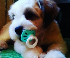 lhasaapso, babydog, and love image