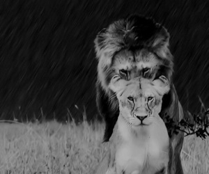 Animales, blanco y negro, and leones image