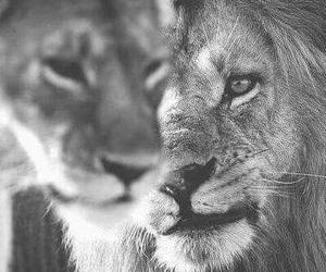 Animales, blanco y negro, and leones image