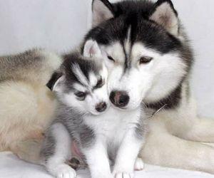 dog, animals, and husky image