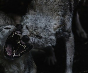 animals, wolf, and predator image