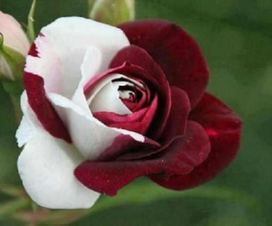 rose, white, and red image