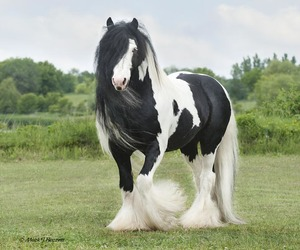 horse and gypsy vanner image