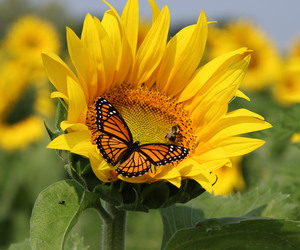 butterfly, sunflower, and qc image