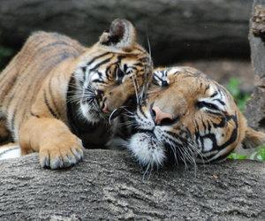 cub, tiger, and tiger cub image
