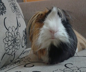 cuy, guinea pig, and gordito image