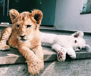 animals, wildlife, and chetah image