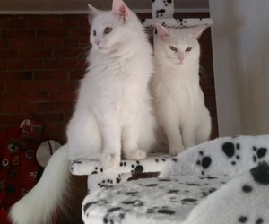 cat, cats, and whitecat image