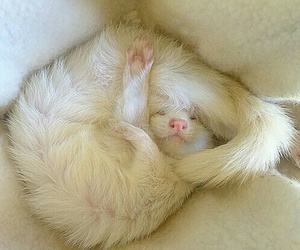 ferret, white, and cute image