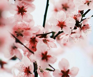 bloom, cherry blossom, and flowers image